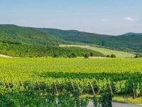 виноградники Массандры